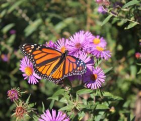 New England Asters feed Monarchs in Autumn, researchers say. Use in a butterfly sanctuary.