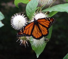 Button Bush provide potent nectar for many pollenators