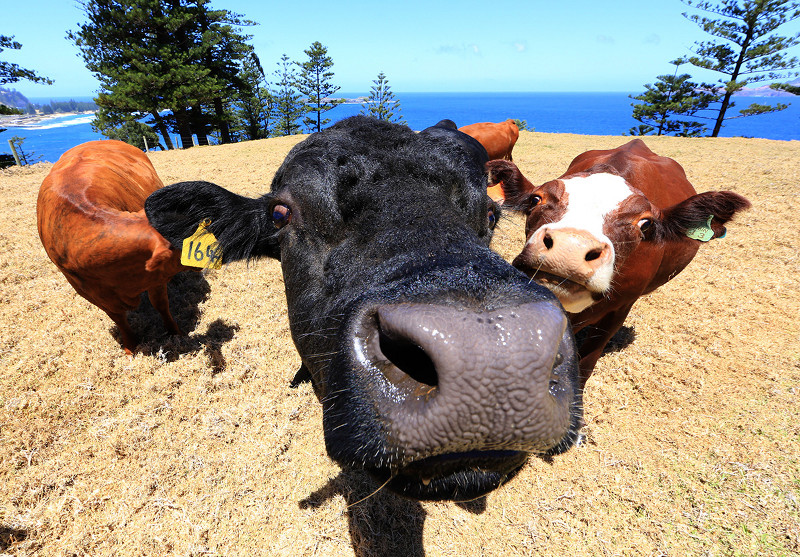 Cows at Shearwater Norfolk Island