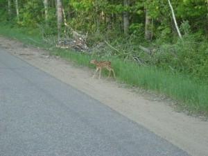 bambi01
