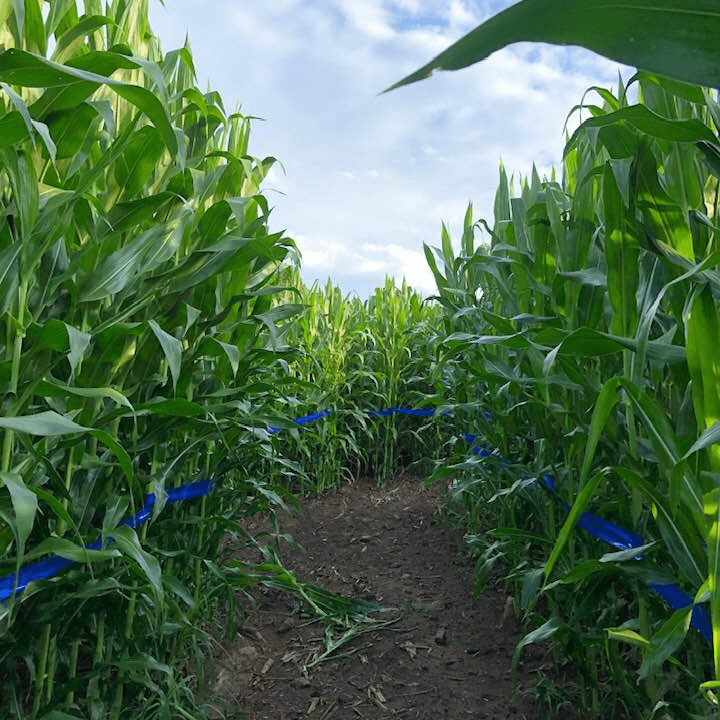 Walking through Fort Hill Farms Corn Maze