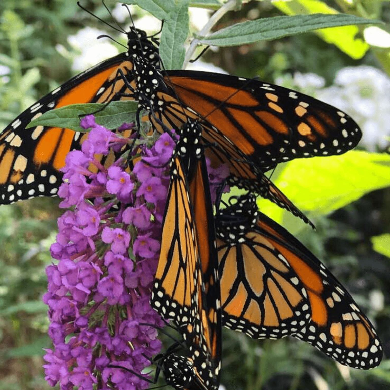 Monarch Butterflies on flowers