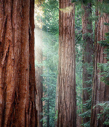 sequoia trees photo