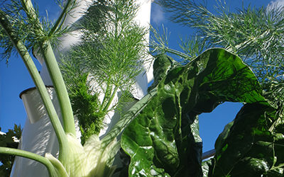 How To Grow Aeroponic Fennel on a Tower Garden