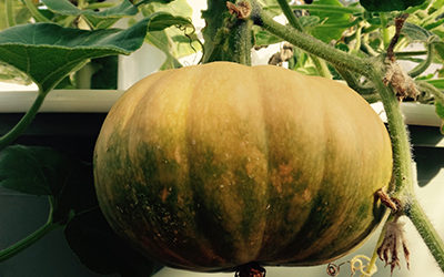 Growing Aeroponic Squash on a Tower Garden
