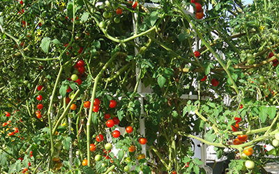 Growing tomatoes commercially in a Tower Farm