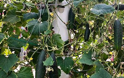 Growing aeroponic cucumbers on a Tower Garden