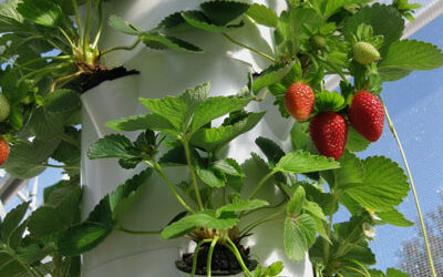 Growing strawberries commercially in a Tower Farm
