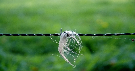 photo of barbed wire fence with a close-up on a clump of hair stuck in the barb