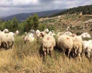 It turns out that shepherds and their flocks don't all live down in Bethlehem. They're up here in the Galilee, too.