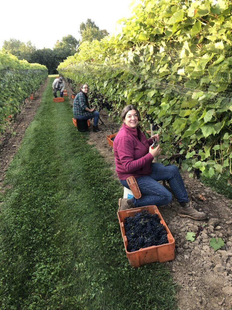 People sitting in front of vines picking grapes into the buckets