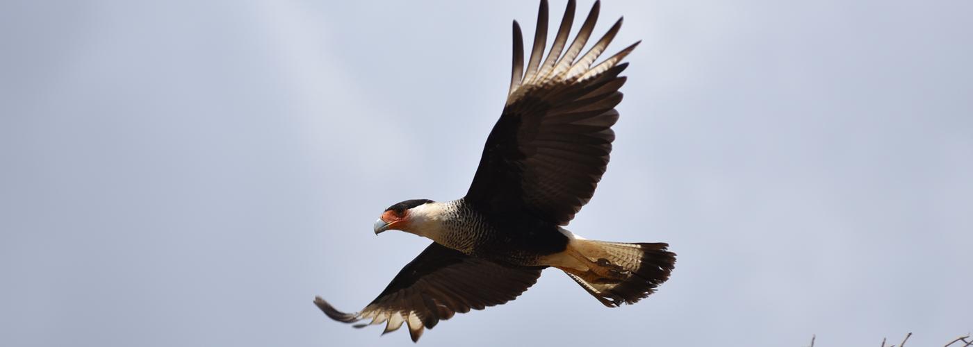 Cara cara in flight
