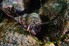 Hermit-crab-SCUBA-DIVE-COURSE-LONG-ISLAND-1