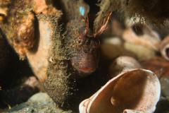 Horned-blenny-CEDAR-BEACH-SCUBA-DIVE-1
