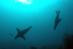 Sea-lions-scuba-certification-long-island-scuba-lessons-ny-2