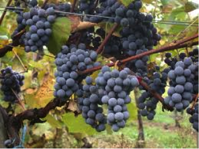 Gamay the Illegal Grape