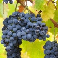 Shiraz Grape