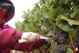 Wine Harvest 2020 – What to Expect