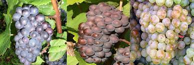 Are Pinot Grapes Related?