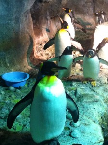 King Penguins at the Pittsburgh Zoo
