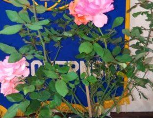 Roses-at-Jan2019-meeting