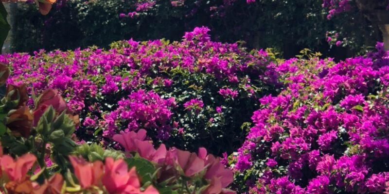 bougainvillea Cape coral Garden club Liza Springer unsplash
