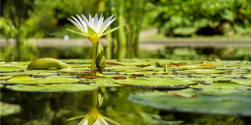 Water Lily Garden Club of Cape Coral
