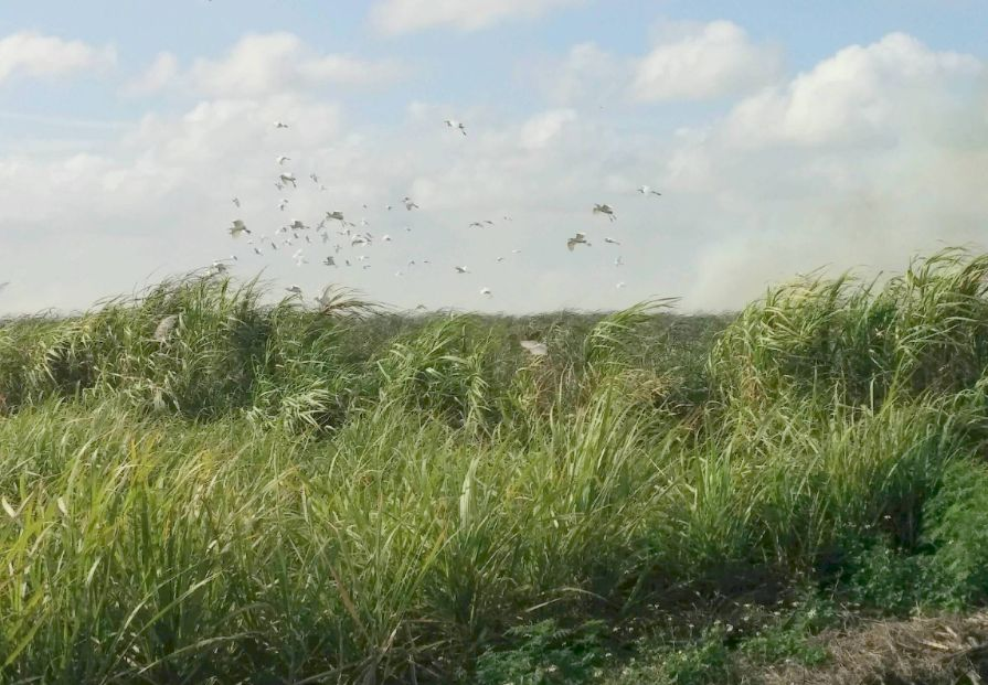 sugar cane burn with birds