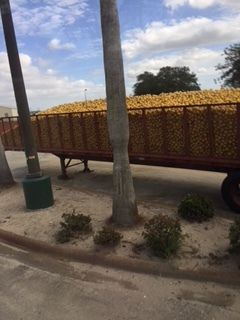 US Sugar citrus ready for processing