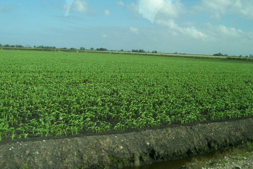 US Sugar corn field from bus