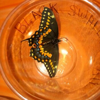 Black Swallow Tail butterfly speciman