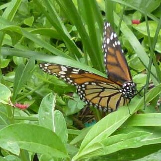 Monarch Butterfly at the butterfly garden of Cape Coral Library