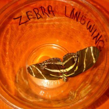 Zebra longwing butterfly speciman