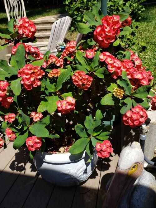 Crown of Thorns Donna Schneider