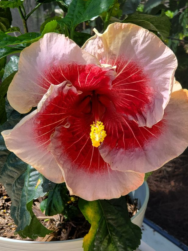 Joan of Arc Hybrid Hibiscus