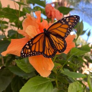 Monarch Butterfly on Hibiscus Flower