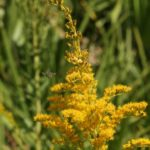 Florida Native Goldenrod
