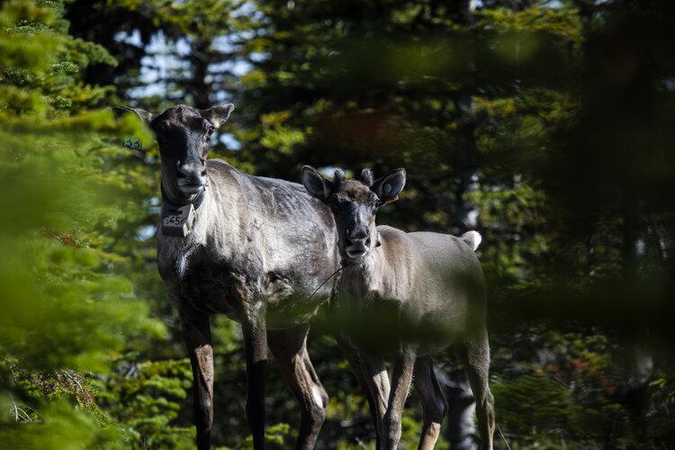 Caribou Homeland