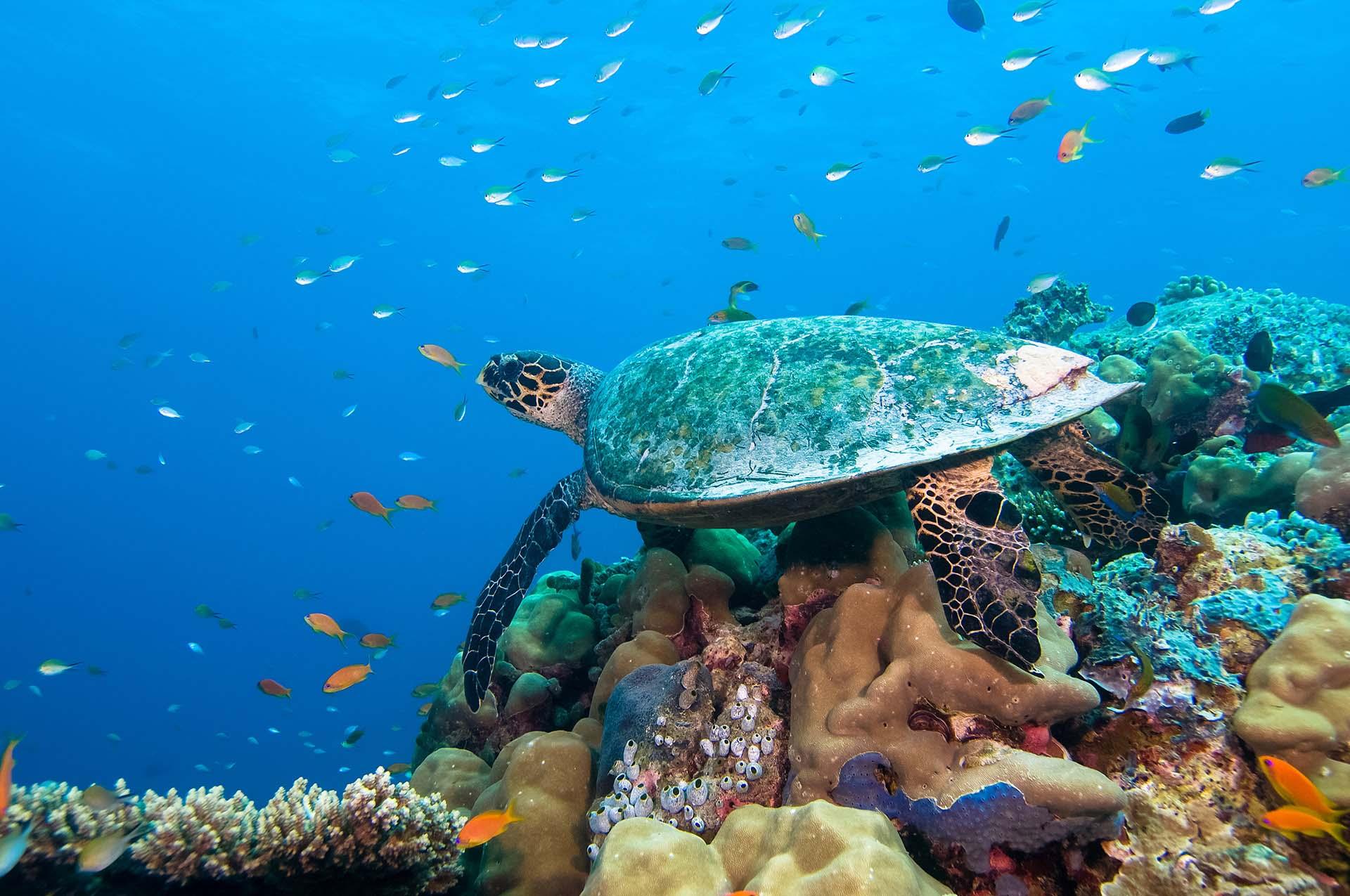 Embudu-Village-Diving-hawksbill-sea-turtle