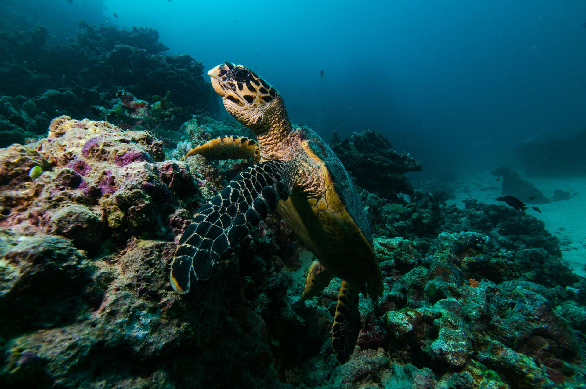 Embudu-Village-Diving-Hawkbills-Sea-Turtle