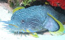 Splendid Toadfish - Only in Cozumel!