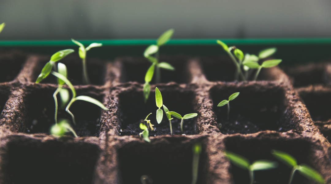 How Can I Get Cannabis Seeds To Grow Myself?