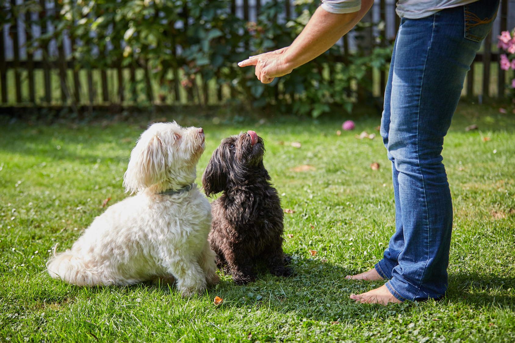 Woman training a white and black havanese dog in the garden