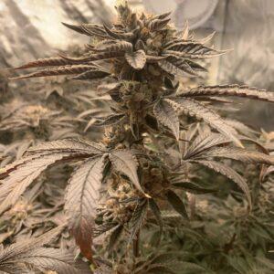 death-bubba-feminized-dagga-seeds-grow