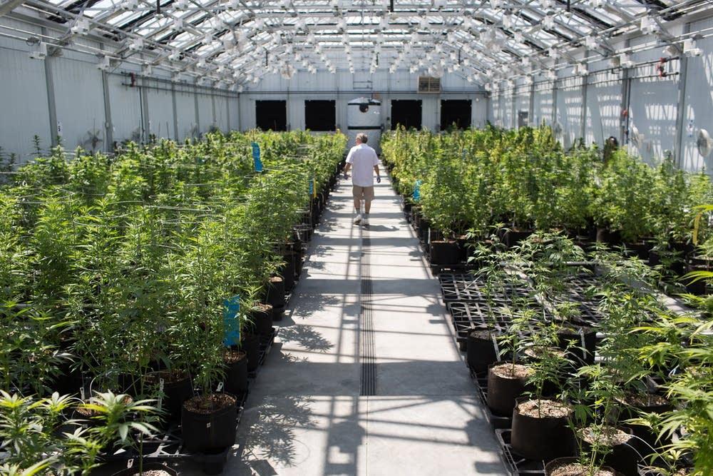growing-cannabis-seeds-indoors-bubba-kush-strain