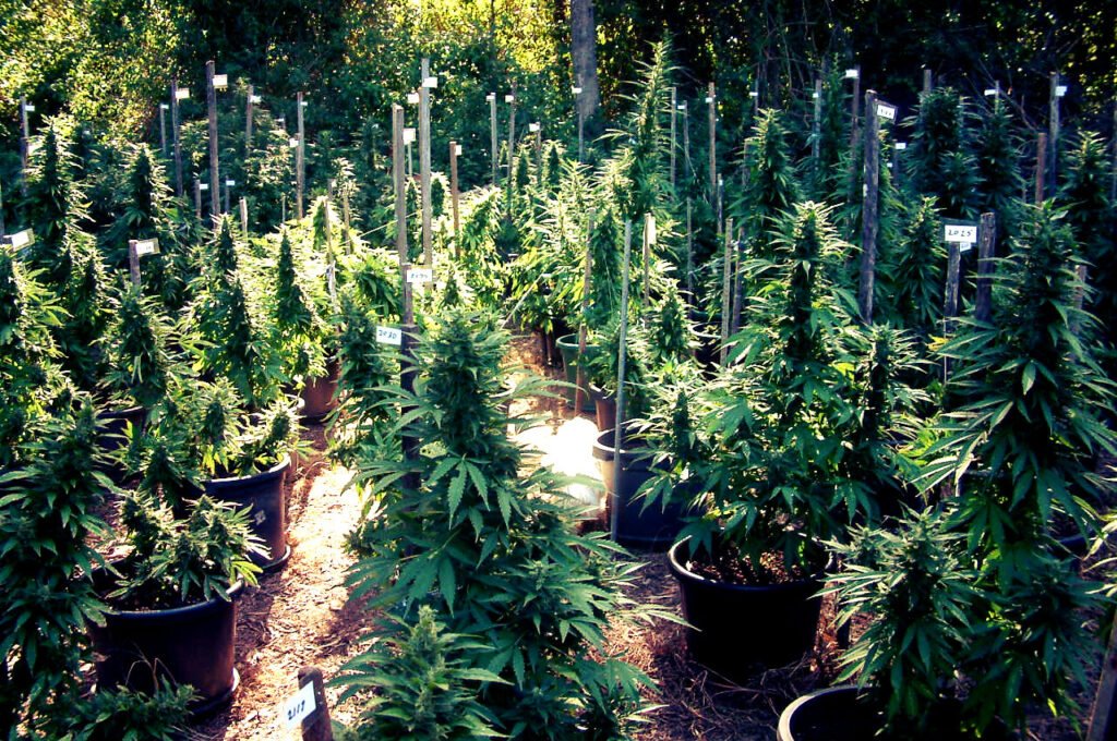 growing-cannabis-seeds-outdoors