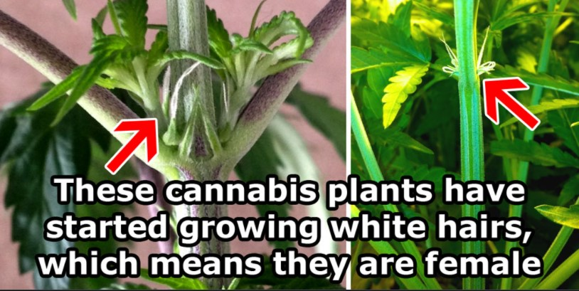spotting-male-and-female-cannabis-plants