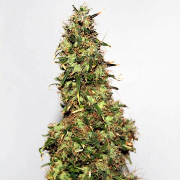 afghan-number-one-cannabis-seeds-regular-dagga-seeds