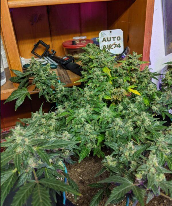 auto-flower-ak-47-strain-oasis-genetics-cannabis -seeds