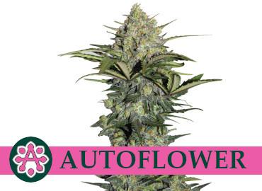 auto-flower-cannabis-seeds-cheap-best-prices-online